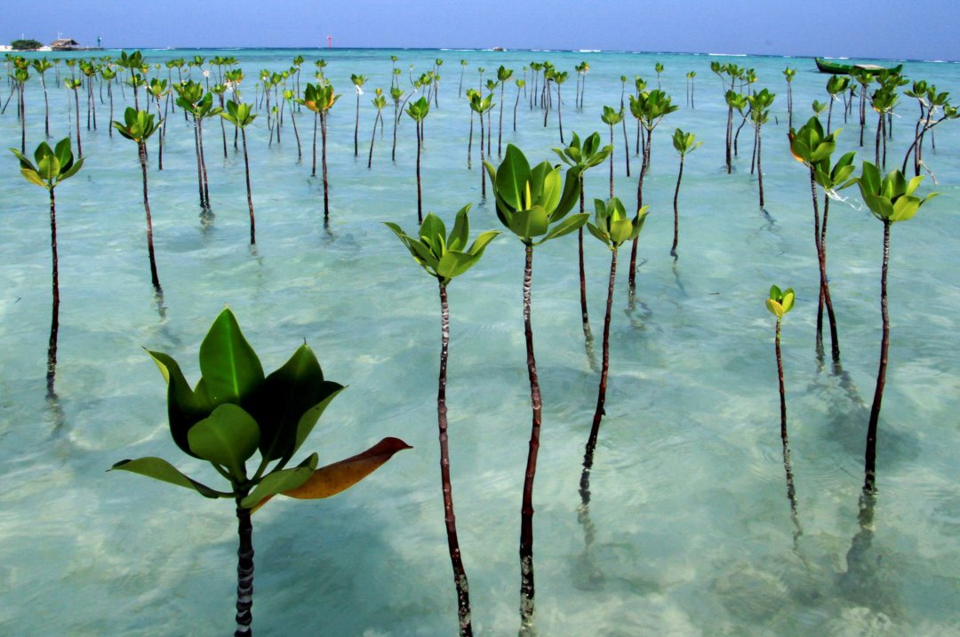 Puluhan pohon mangrove yang terdapat di kawasan ekowisata Pulau Pari, Kepulauan Seribu, Jakarta, Sabtu (25/6/2011). Penanaman dan pemeliharaan mangrove di kawasan tersebut mencapai 700 meter yang telah ditanam sejak tahun 2006 untuk menahan abrasi pasir laut serta memelihara ekosistem laut.