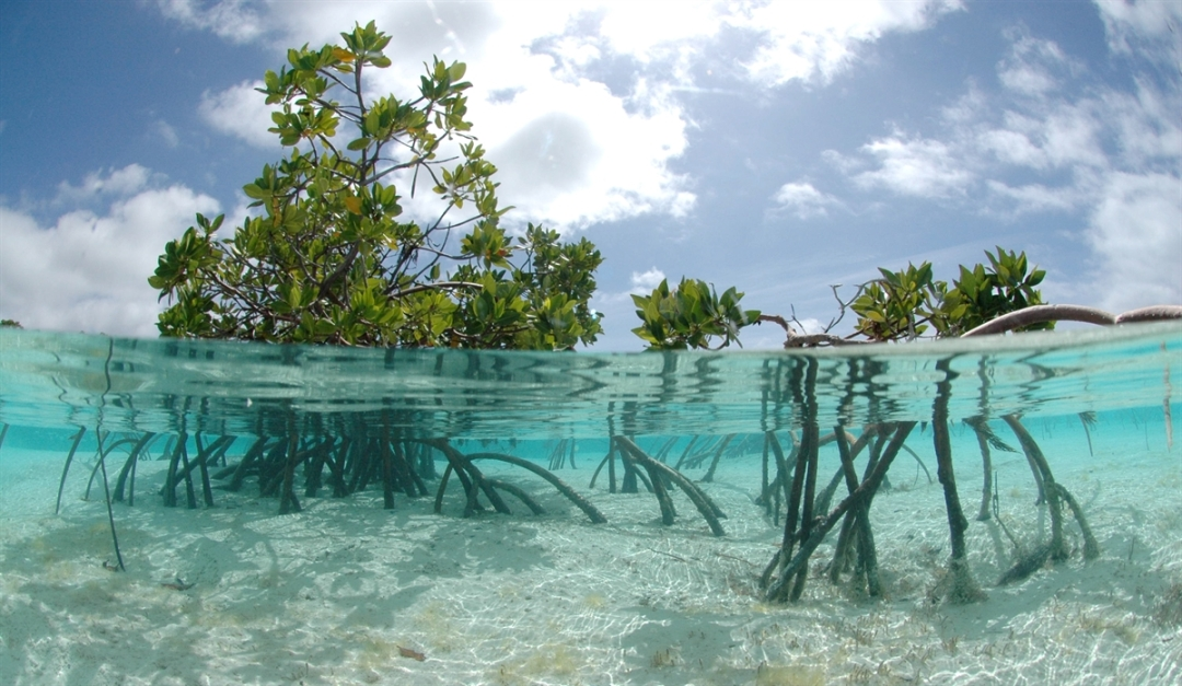 overwashed-mangrove-forest